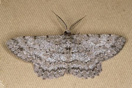 Hypomecis punctinalis, Lodz(Poland)01(js).jpg