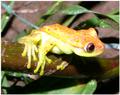 HypsiboasPunctatus.PNG