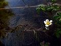 IMG 6323^ Ranunculus.jpg