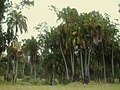 Ian Scougall Park, with 'Cabbage palms' (Livistonia australis) in flower (1) - panoramio.jpg