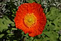 Iceland Poppy Papaver nudicaule 'Champagne Bubbles' Orange Top.jpg