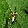 Ichneumon Wasp (30922073094).jpg