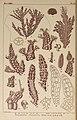 Icones of Japanese algae (Pl. LV) (6049910957).jpg