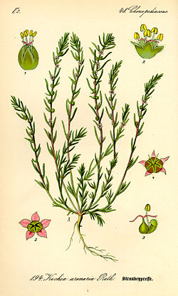 Illustration Bassia laniflora0.jpg