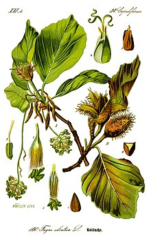 Illustration Fagus sylvatica0 clean.jpg