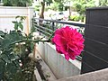 Image rose.jpg