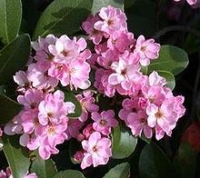 Indian Hawthorn, India Hawthorn (Rhaphiolepis indica).jpg