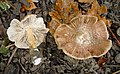 Inocybe maculata (45292799735).jpg