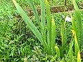 Iris domestica,leopard lily.jpg