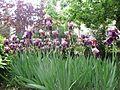 Iris galignani.jpg