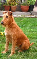 http://upload.wikimedia.org/wikipedia/commons/thumb/f/f1/Irish_terrier_sitting.jpg/158px-Irish_terrier_sitting.jpg