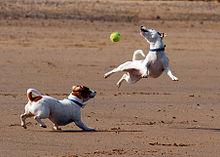 [Image: 220px-Jack_Russell_Terrier_Eddi_Jumping.JPG]