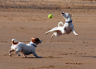 Jack Russell Terrier - Jack Russell terriers playing with a ball