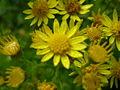 Jacobaea vulgaris 0.9 R.jpg