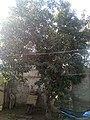 Jamun Tree.jpeg