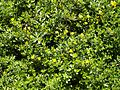 Jasminum fruticans ABL.jpg
