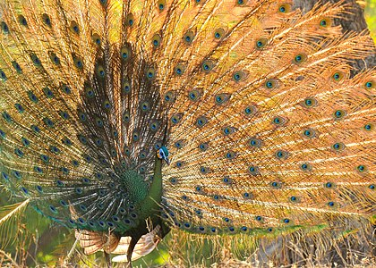 Javan Green Peafowl