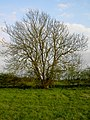 Jeremiahs Tree or not^ - geograph.org.uk - 397657.jpg