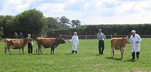 Jersey cattle being judged at the West Show, S...