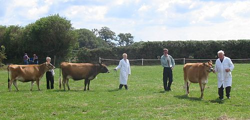Jersey cattle were developed as a breed during the 19th century. Judging the quality of cows remains a feature of rural life. Jersey cattle judging-1.jpg