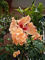 JfHibiscus rosa-sinensisMalolos36fvf.JPG
