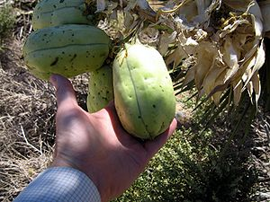 Yucca brevifolia - Fruit