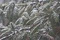 Julie's Spruce tree in the snow. (4166409297).jpg