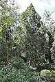 Juniperus chinensis Chinese Juniper ჩინური ღვია.JPG