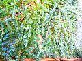 "Juniperus conferta""Blue Pacific"".jpg"