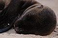Juvenile Galápagos sea lion (4201814925).jpg
