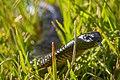 Juvenile Red Bellied Black Snake.jpg