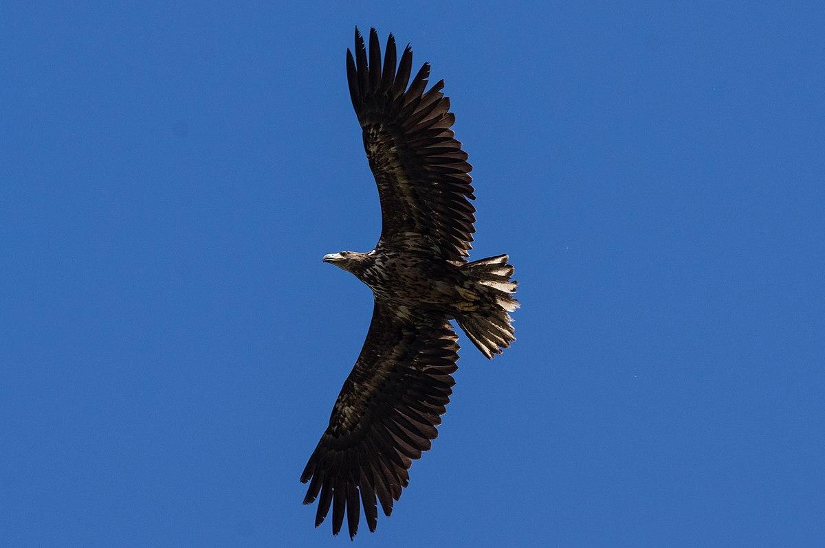 Juveniler Seeadler.jpg