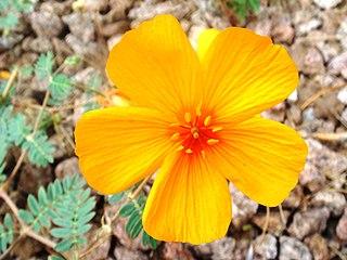 <i>Kallstroemia</i> genus of plants