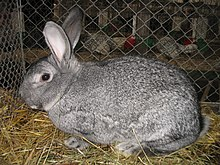 Giant Chinchilla Rabbit Chinchilla rabb...