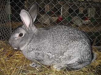 Domestic rabbit - Chinchilla