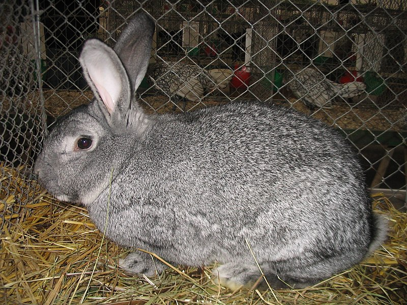 Giant Chinchilla Rabbit Image by: Hagen Graebner From Wikimedia Commons, the free media repository
