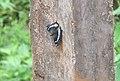 Kaniska canace viridis – Sahyadri Blue Admiral 03.jpg