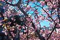 Kawadu Cherry 河津桜 (2304096634).jpg