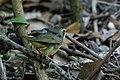 Kentucky Warbler (male) Hooks Wood High Island TX 2018-04-11 09-11-27 (41808914501).jpg