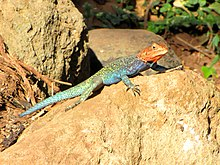 Kenyan Rock Agama, male, Serengeti.jpg
