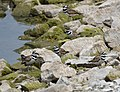 Killdeer (29400925302).jpg