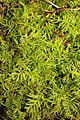Kindbergia praelonga 102320483.jpg