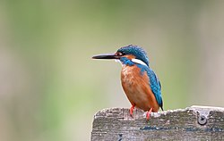 Kingfisher-bird-863495.jpg