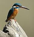 Kingfisher6.jpg