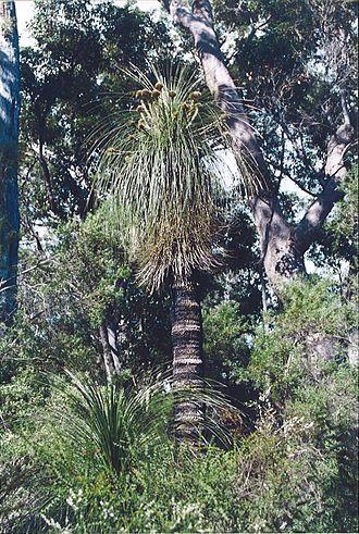 Kingia - Kingia australis at Fernhook Falls, Western Australia