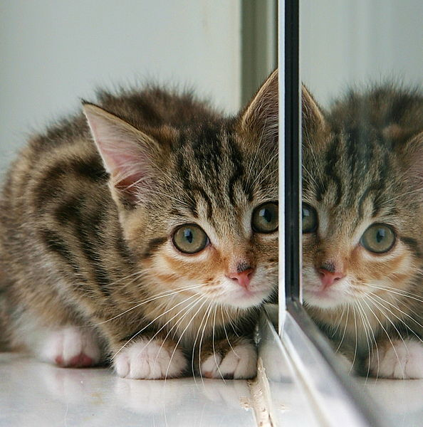 File:Kitten and partial reflection in mirror.jpg