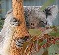 Koala 4 (30575690120).jpg