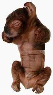 Fœtus de koala, de couleur marron, juste avant la naissance