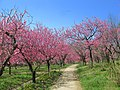 Koga Ibaraki Koga Park Peach Flowers 1.JPG