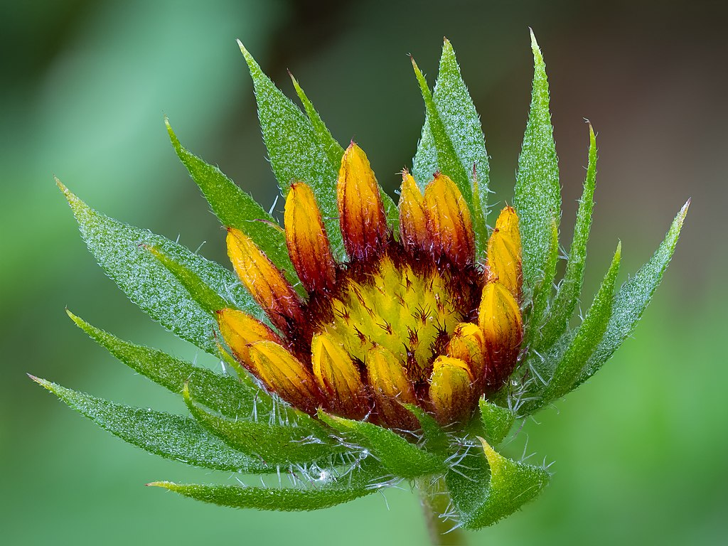 Kokardenblume Gaillardia aristata stack28 20190721-RM-7210879.jpg